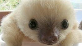 Baby-Sloth